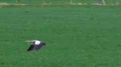Egyptian goose- Alopochen aegyptiac - stock footage