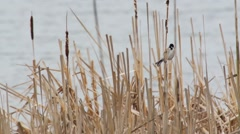 Reed bunting - Emberiza schoeniclus   Stock Footage