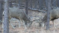 Buck That Shed One Antler the Day Before is Sparring Carefully w/Audio - stock footage