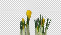 Growing and rotating yellow crocus Easter flower with ALPHA Stock Footage