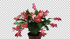 Time-lapse of growing and dying pink Christmas cactus UHD 4K with ALPHA channel Stock Footage