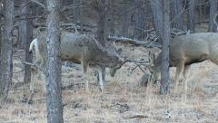 Buck That Shed One Antler the Day Before is Sparring Carefully - stock footage