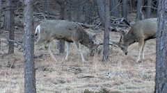 Buck That Shed One Antler the Day Before is Sparring Stock Footage