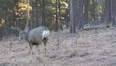 Mule Deer Buck Is Startled, He and a Doe Run Away Stock Footage