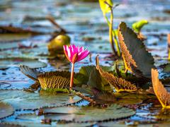 Natural red lotus Stock Photos