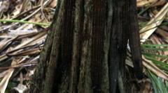 Pandanus hornei in Vallee de Mai Nature Reserve Stock Footage