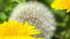 Close up shot of a Dandelion flower, ultra hd,uhd, real time,sunny day,4k Arkistovideo