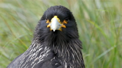 The black striated caracara bird with white beak Stock Footage