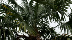 A coco palm tree in the garden Stock Footage