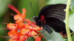 Black butterfly on top of an orange flower Stock Footage