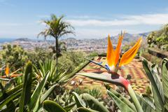 Stock Photo of Strelitzia in Botanical garden of Funchal at Madeira Island