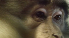 Stock Video Footage of Closer look of the eye of an ape