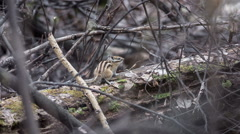 Stock Video Footage of Chipmunk in their natural habitat