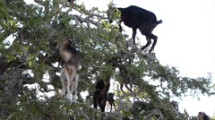 A flock of goats in an argan tree eating the argan nuts Stock Footage