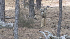 An Alert Yearling Fork Horn Buck Approaches Stock Footage