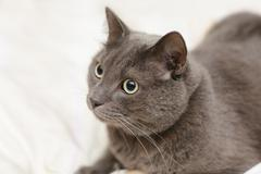 grey cat lying in bed, playfull mood - stock photo