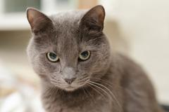 Grey cat lookin directly to the camera Stock Photos