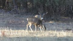 Dominant Rutting Buck Approaches Doe He is Courting Stock Footage
