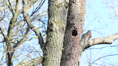 Rook bird nesting in an old tree stem - stock footage