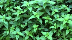 Stinging Nettle Swinging on the Wind Stock Footage