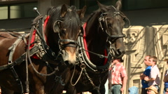 Brown pair of horses on parade Stock Footage