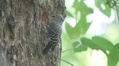 Buff-rumped Woodpecker Meiglyptes tristis - stock footage