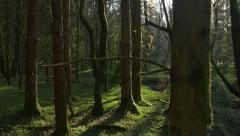 Mysterious forest in early morning - stock footage