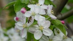 Spring flowers,  blossoming apple tree with bee and bumblebee Stock Footage
