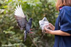 Pigeon feeding Stock Photos
