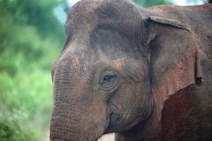 Portrait of indian elephant in jungle Stock Photos