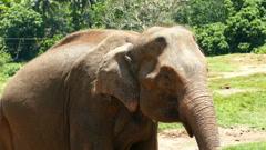 Elephant in Sri Lanka Stock Footage