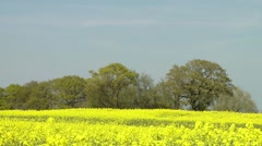 Rapeseed field  bright yellow flowers agriculture skyline trees Stock Footage