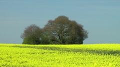 Field bright yellow flowers rapeseed trees skyline horizon Stock Footage