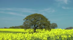 golden bright yellow flowers rapeseed field  blue sky clouds tree - stock footage