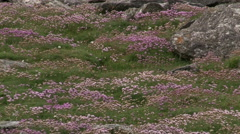 Sea Thrift (Armeria maritima) flowering Stock Footage