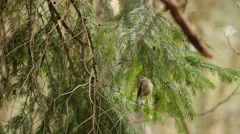 Goldcrest bird fast wings flapping in wildlife surroundings Stock Footage