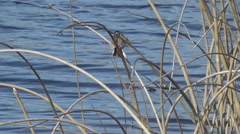Wagtail in the reeds Stock Footage
