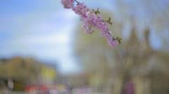 Sakura branch. Stock Footage