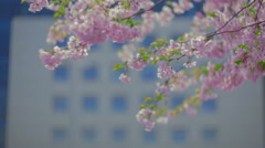 Sakura branch and business building. Stock Footage