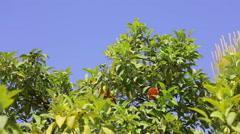 Orange fruit tree. Stock Footage