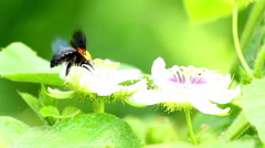 Bumble bee sucking nectar. - stock footage