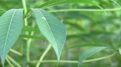 Cassava plant in cassava plantation Stock Footage