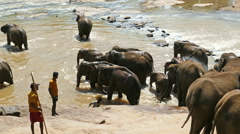 Elephants at Pinnawala Elephant Orphanage in Sri Lanka Stock Footage