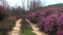 Dirt road between Heather Mauve Color Stock Footage