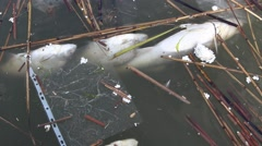 Dead fish in polluted water 2 Stock Footage