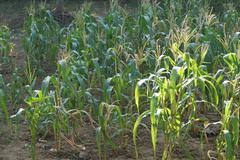 Sweet corn flower in the corn field Stock Photos