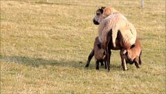 Ewe sucking two lambs Stock Footage