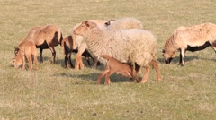Sheep on meadow, audio, farming, spring, lambs Stock Footage