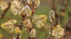 willow catkin in the evening sun in april - stock footage