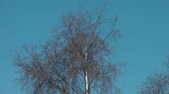 Silver birch bark tree blue sky breeze movement Stock Footage